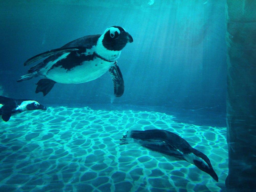 Pinguini (10)